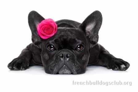 French Bulldog ear problems