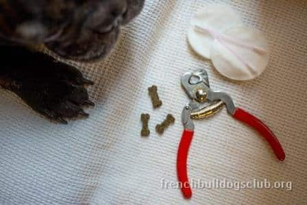 French Bulldog nails how to cut trimming