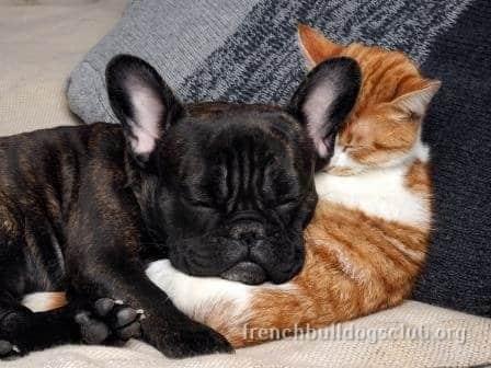 French Bulldog wrinkles