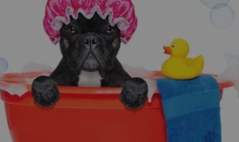 French Bulldog Bathing Schedule – Little known secrets
