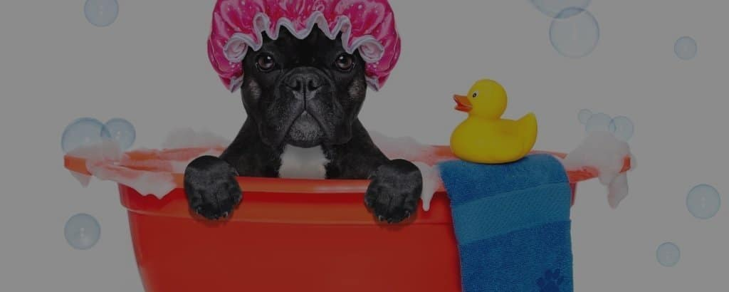 French Bulldog bathing guide
