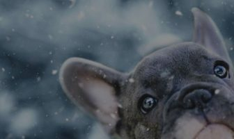 French Bulldog Eyes Problems – One quick way to prevent them