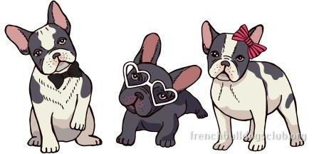 French bulldog breed information