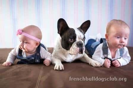 how to prepare garden French Bulldog