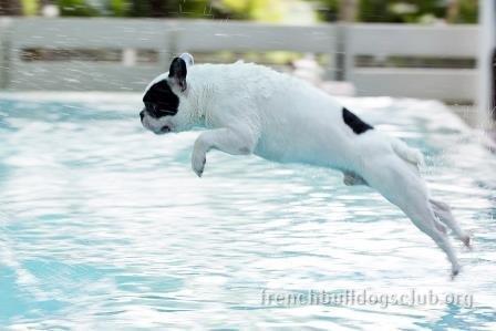 French Bulldog summer heat care tips