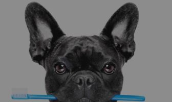 French Bulldog Teeth – Easy routine to preserve them solid