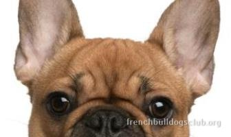 French Bulldog wrinkle infection