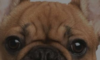 French Bulldog Wrinkle Infection – The proven way to heal it