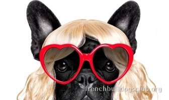 best anti hair loss French Bulldog dog
