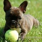best ball fetch toy French Bulldog dog