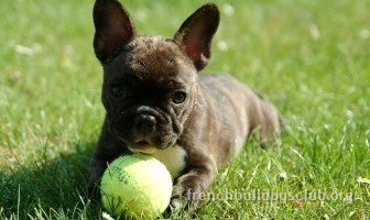best ball fetch toy French Bulldog dog