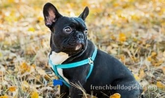 best training sets for french bulldogs