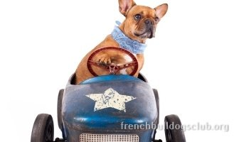 best car seats French Bulldog dog safety