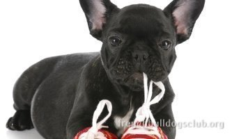 best chewing toys French Bulldog dog