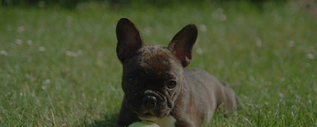chocolate french bulldogs