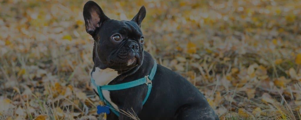 french bulldogs bark