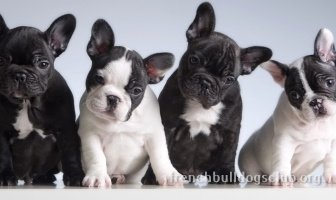 Best Food for Puppies For French Bulldogs