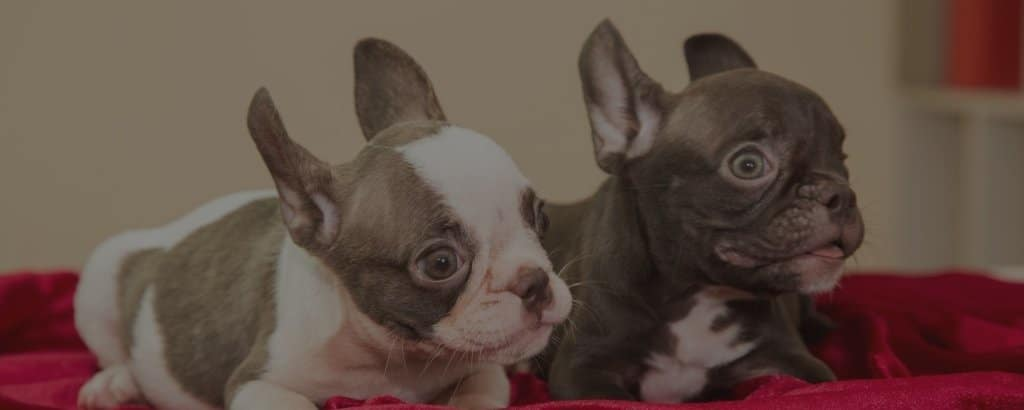 french bulldog colors