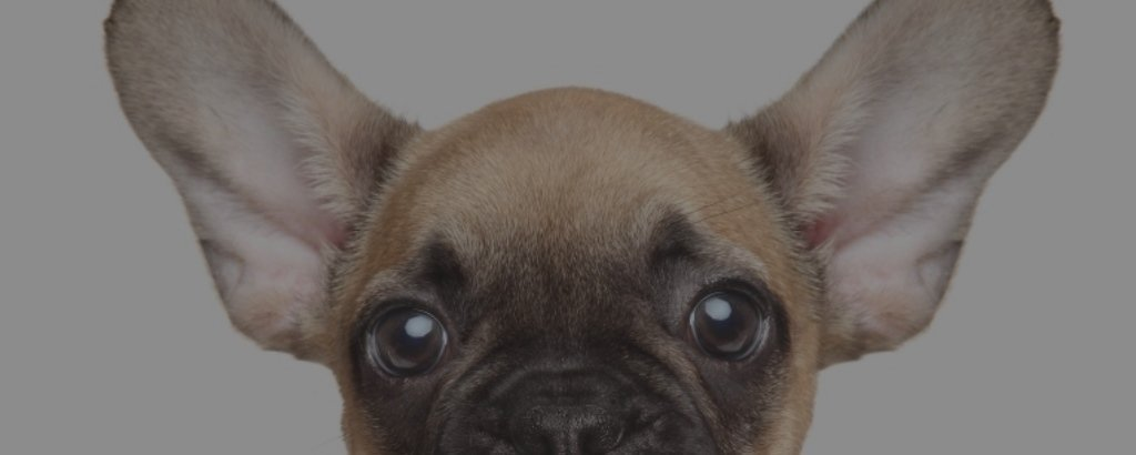 mini teacup french bulldog