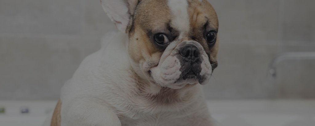 piebald french bulldogs