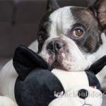 best separation anxiety toy French Bulldog dog