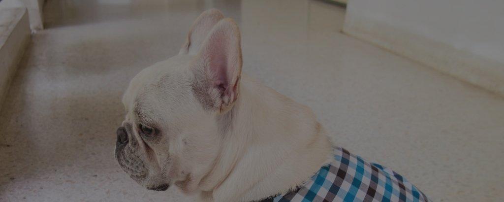 white french bulldogs