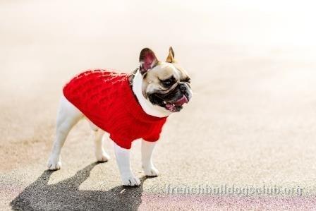 winter clothes french bulldog